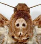 Skull on moth thorax